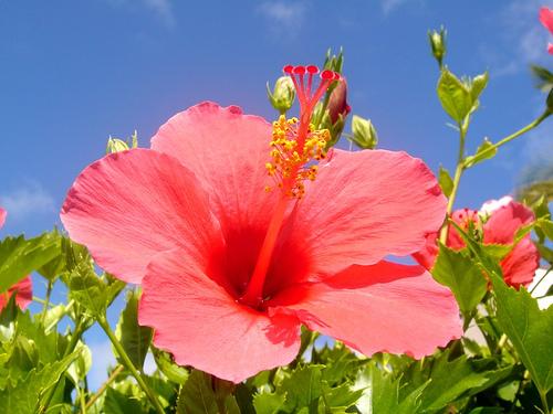 Hawaii Hibiscus by Matsuda Yukihiro