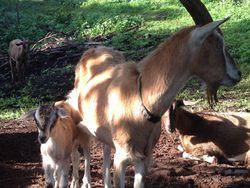 MM goats